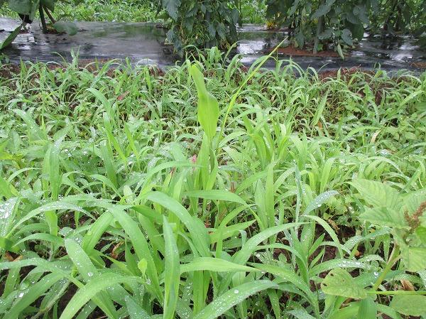 雑草の中の大生姜の芽
