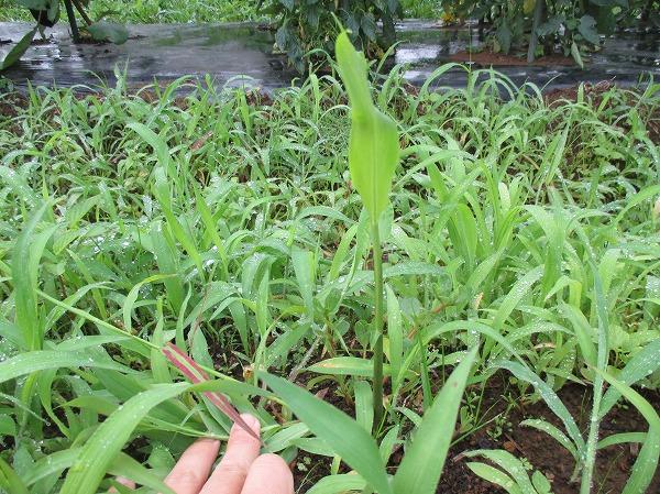 大生姜の芽