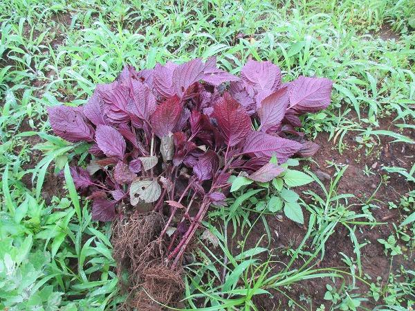 紫蘇を収穫