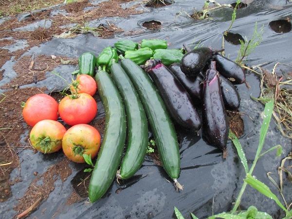 今日の野菜の収穫