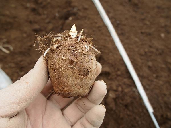 今年の里芋の種芋
