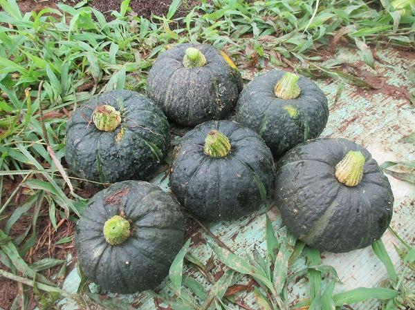成熟した坊ちゃんの実を6個収穫できた
