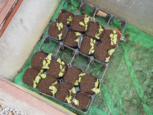 オレンジクインの苗をポットに植え替え