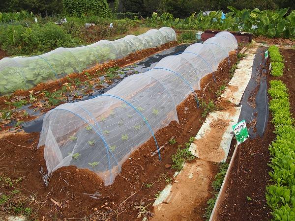 数種類の野菜を栽培している畝