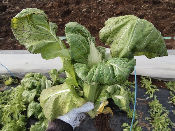 収穫した高菜