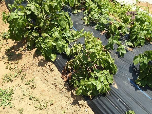 キタアカリを試しに収穫(5月31日)