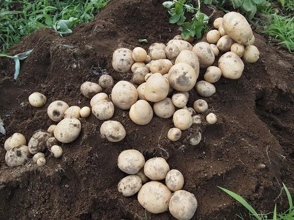 収穫したキタアカリ