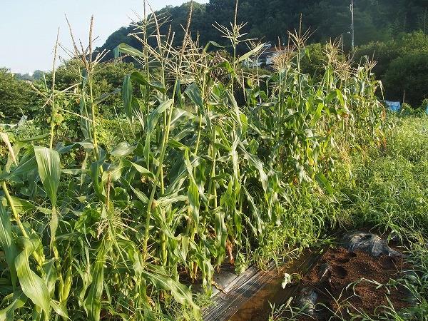 栽培を終えたトウモロコシ