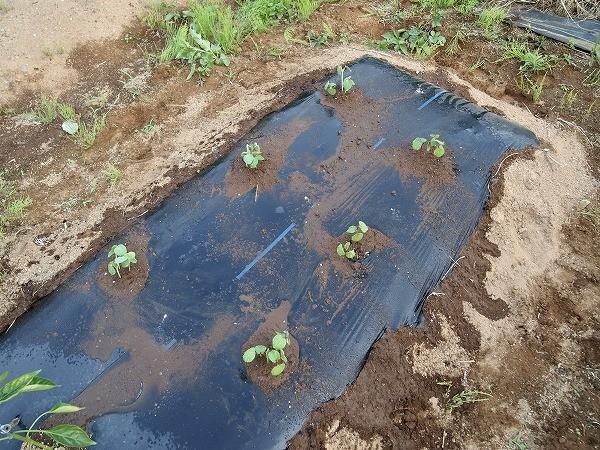 畑に植えつけたベニーの苗