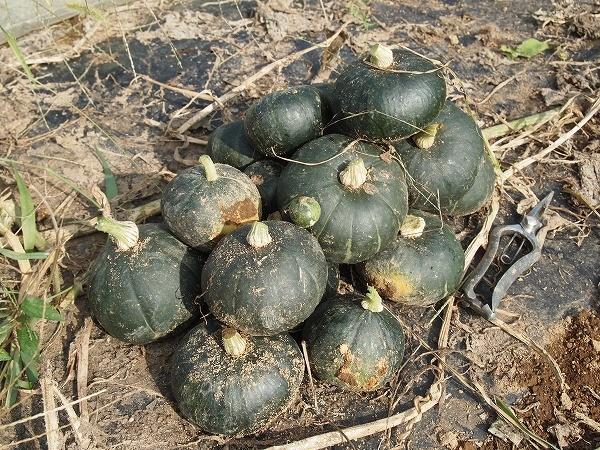 栗坊の3回目の収穫