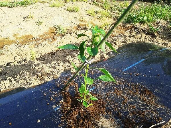 鷹の爪の苗を植え付けたところ