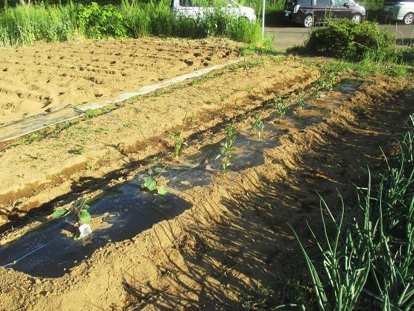 苗を畑に植え付けたところ