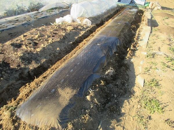 ジャガイモ植えるのに準備した畝