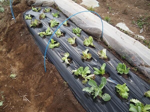 サラダセットの苗を植えたところ