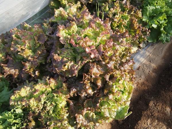 収穫適期のサニーレタス