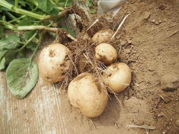 試し掘りしたジャガイモ