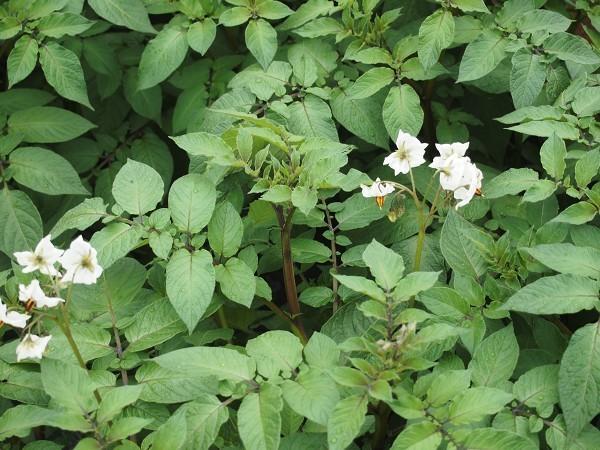シャドークイーンの花