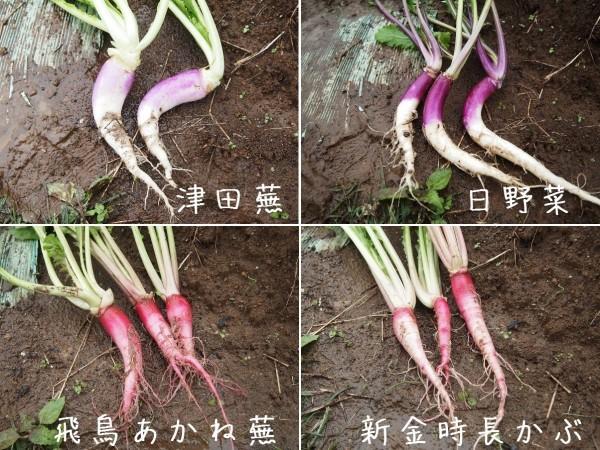 収穫した長カブ