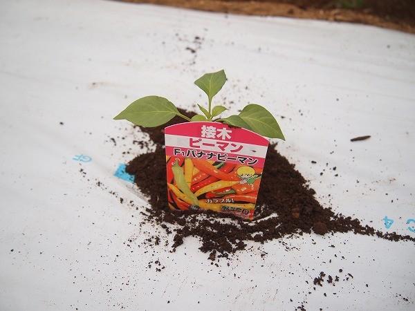 バナナピーマンの苗を植えたところ