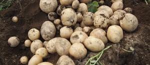 ジャガイモの「キタアカリ」の栽培レポ