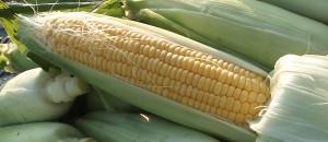トウモロコシの栽培レポ|肥料とカメムシ対策で大成功!