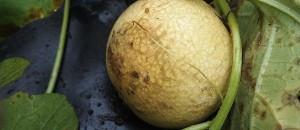 ネットメロン「ころたん」の栽培レポ(大失敗)|収穫の間際ですべての実が腐る