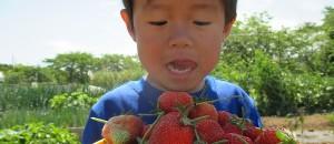 イチゴの「宝交早生」の栽培レポ