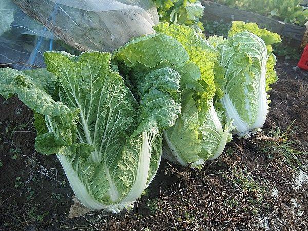 菜園で作った白菜