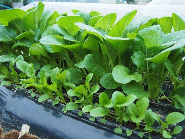 菜園で育てた小松菜