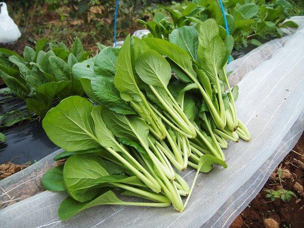 菜園で収穫した小松菜