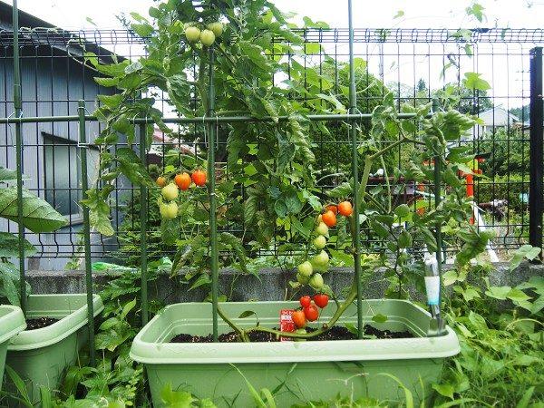収穫適期のミニトマト