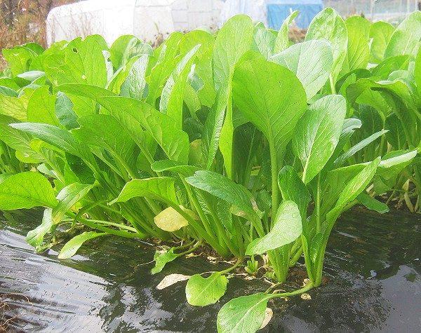 畑で育てた小松菜
