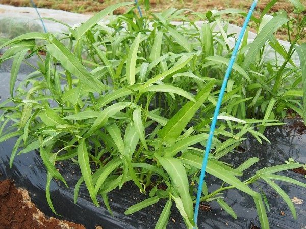 畑で育てた空芯菜