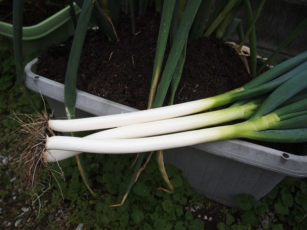収穫した長ネギ