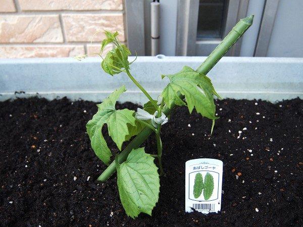 ゴーヤの苗を植えたところ