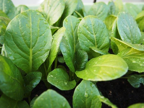 栽培中の小松菜