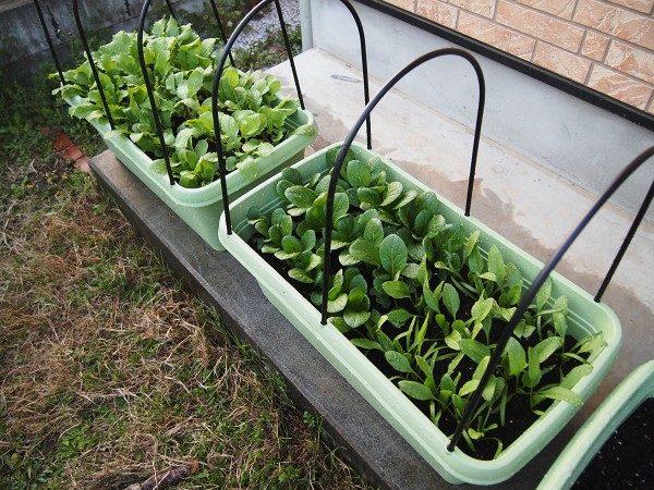 育てやすい野菜