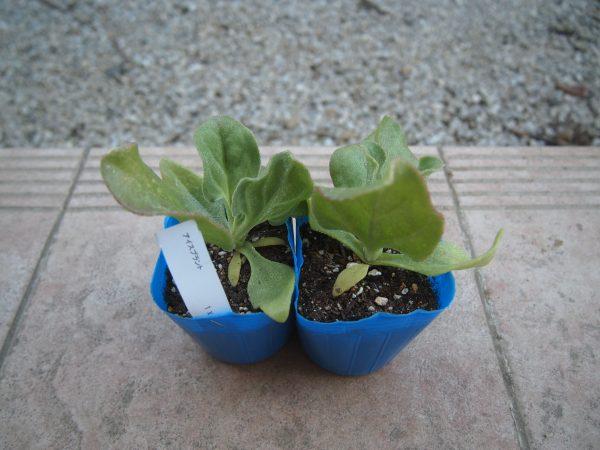 アイスプラントの苗