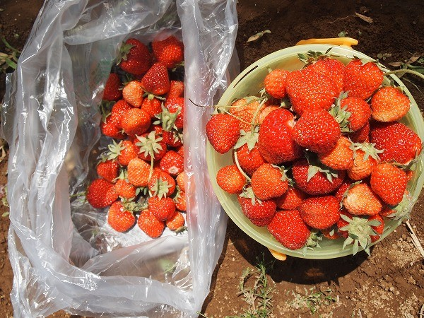 収穫したたくさんのイチゴ