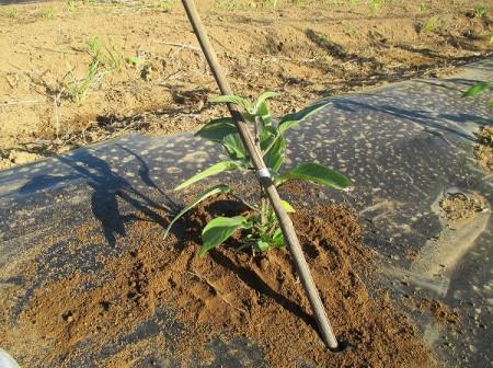 支柱を立てて苗を紐で固定
