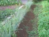 栽培中のネギ