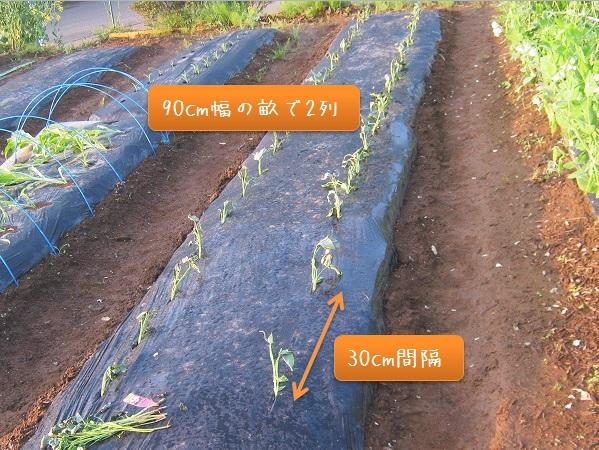 サツマイモの植えつけ間隔