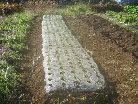 タマネギの苗の植え付け