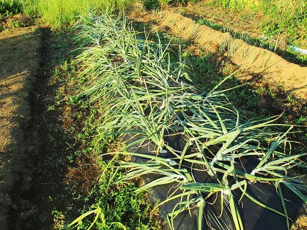 タマネギの収穫時期