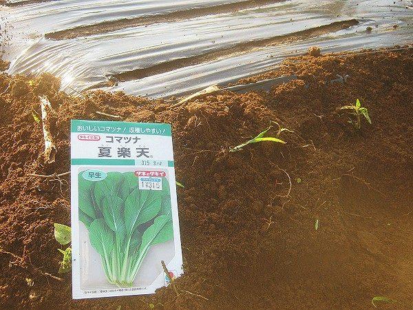 小松菜の種