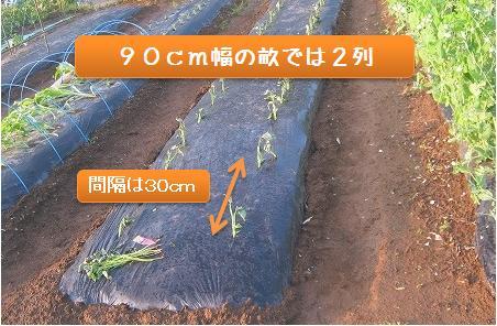 サツマイモの植え付け間隔