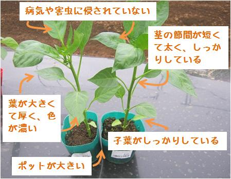 良い苗の特徴