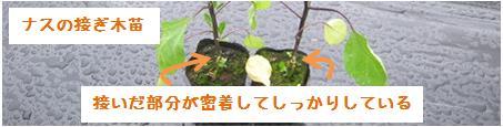 良い接ぎ木苗の特徴