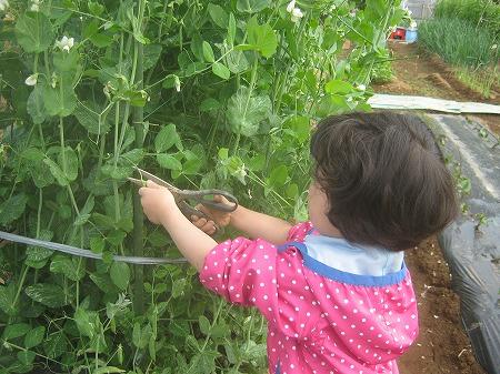 スナップエンドウを収穫