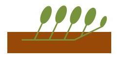 サツマイモの水平植え